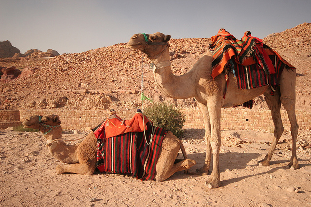 camellos jordania